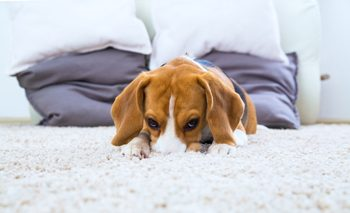 Pet Odor Cleaning New Orleans LA 504-616-4313